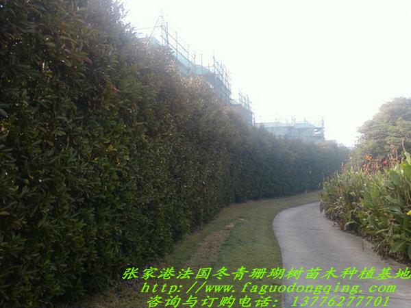 4米高度法国冬青绿篱绿墙图片展示法国冬青