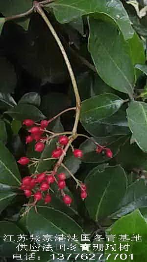 法国冬青果实-法国冬青-珊瑚树--张家港市双桥苗木